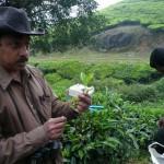 """Tea Leaf (Also called """"Kolunthu"""" in Malayalam) in Munnar"""
