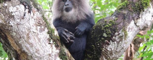 Monkey in a tree at Pakshipathalam