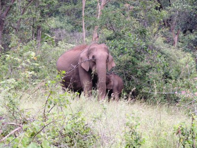 elephant seen on wildlife safari on western ghats